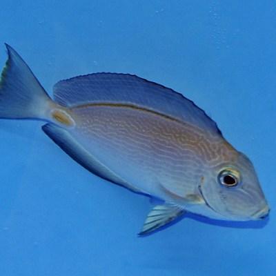 AcanthurusMonroviae