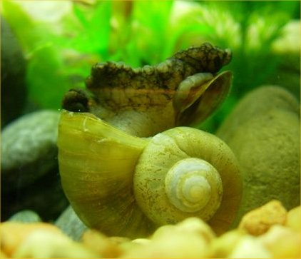 Robyns Apple Snail Page