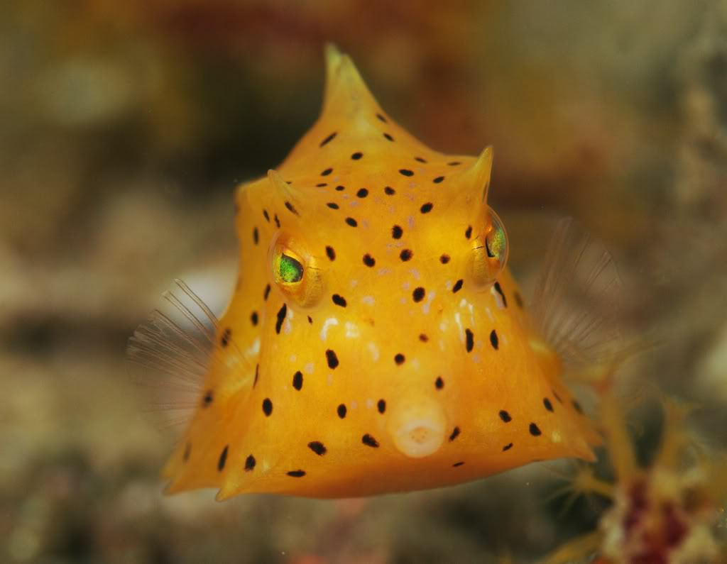 https://i0.wp.com/www.fishwallpapers.com/wallpapers/baby-boxfish-pic.jpg