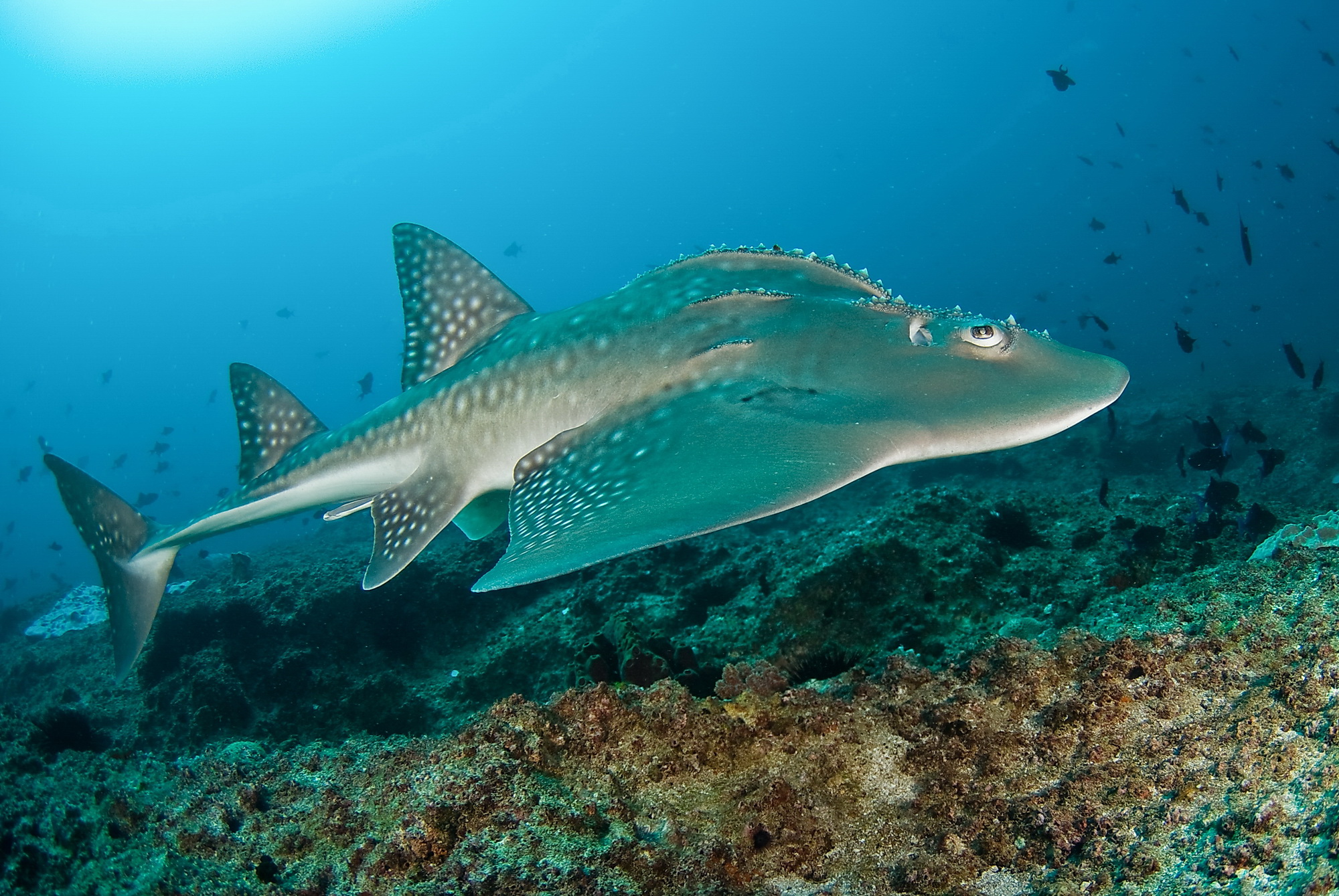 Cute Wallpapers For The Letter T Guitarfish Swims Photo And Wallpaper Cute Guitarfish
