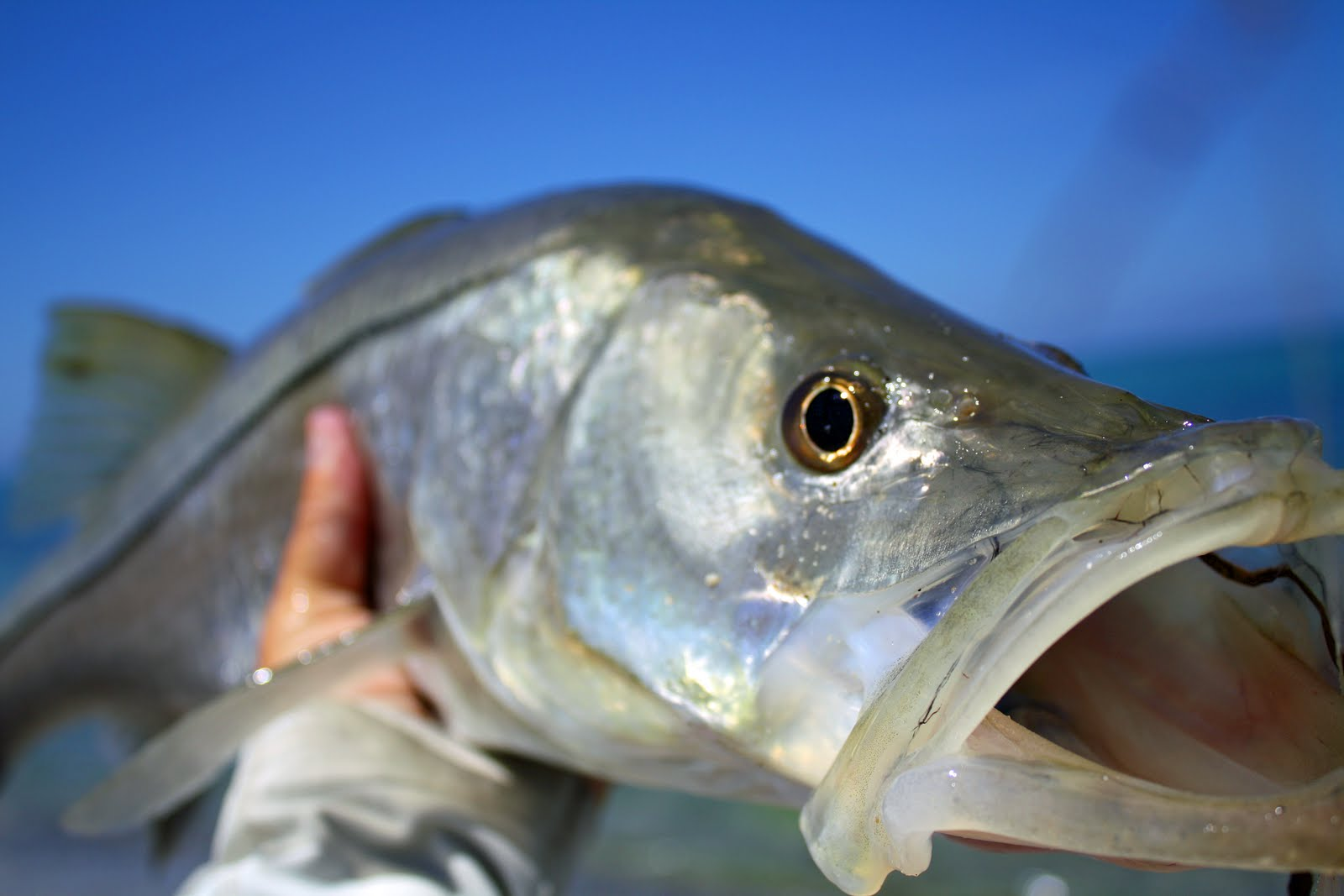 Nice Snook photo and wallpaper. Cute Nice Snook pictures