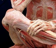 Fascia miofasciale fisioterapia_Fascia_Picture_by_Pearson_Education_Inc_large