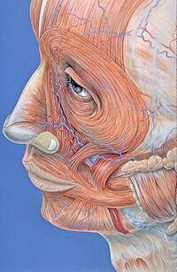 Dibujo_que_muestra_la_anatomía_y_músculos_de_la_cara