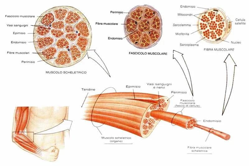 tessuto_muscolare fit4best