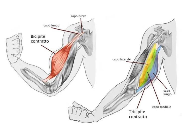 anatomia-bicipiti-tricipiti