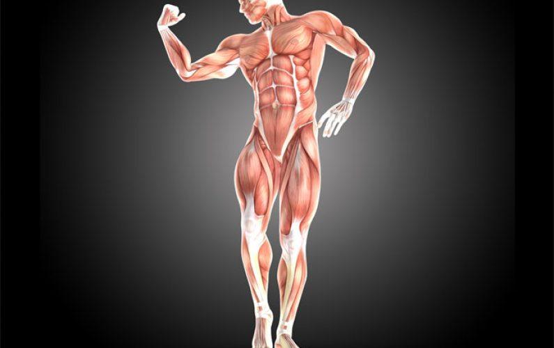 composizione muscolare