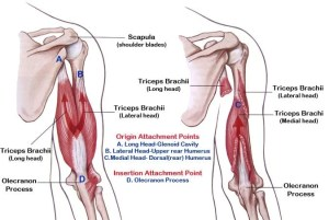 10 Best Bodyweight Triceps Exercises to Develop Your Arms