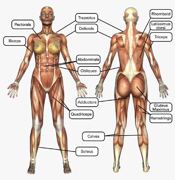 Women Muscle Diagram - Wiring Diagram •