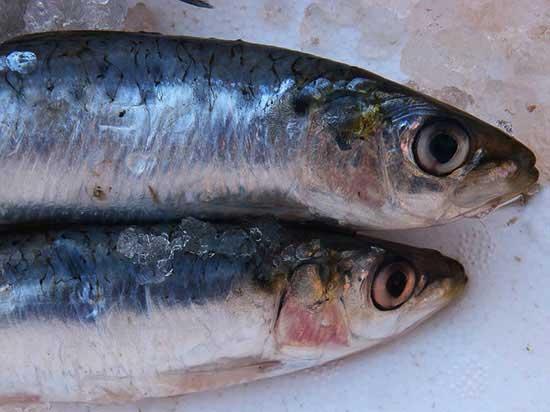 sardine for loosing weight