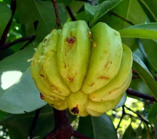 Garcinia to Lose Weight