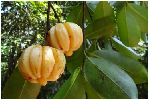 Garcinia Cambogia hanging from tree