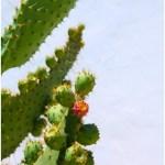 Nopal cactus picture