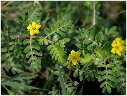 What is Tribulus terrestris