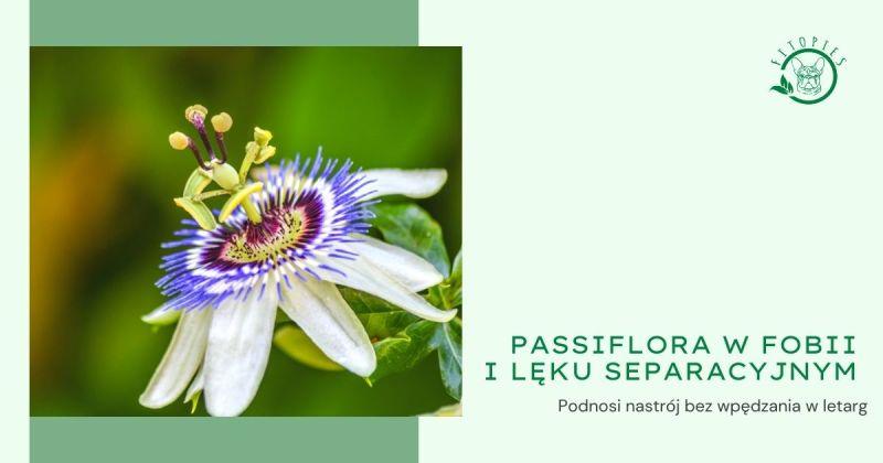 passiflora pies boi sie fajerwerkow