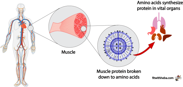 weight loss benefits of weight loss intermittent fasting and weight loss caloric restriction and weight loss  Muscle breakdown