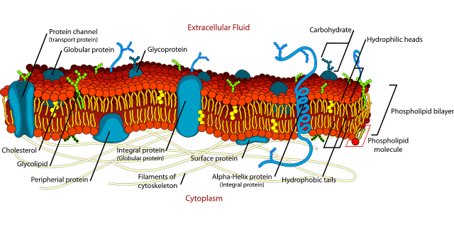 The phospholipid bilayer of a cell's membrane.