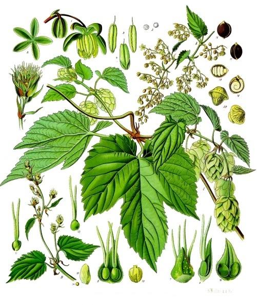 Neomexicanus Hops: A Primer