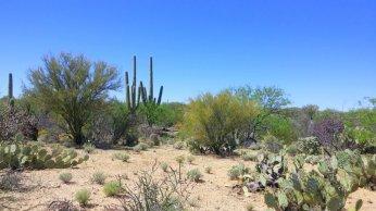 Typical Saguaro landscape