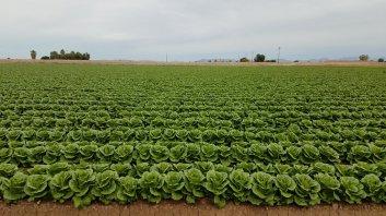 Lettace fields in Yuma, AZ