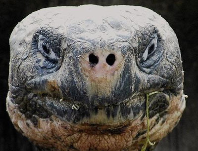 funny-galapagos-tortoise-01