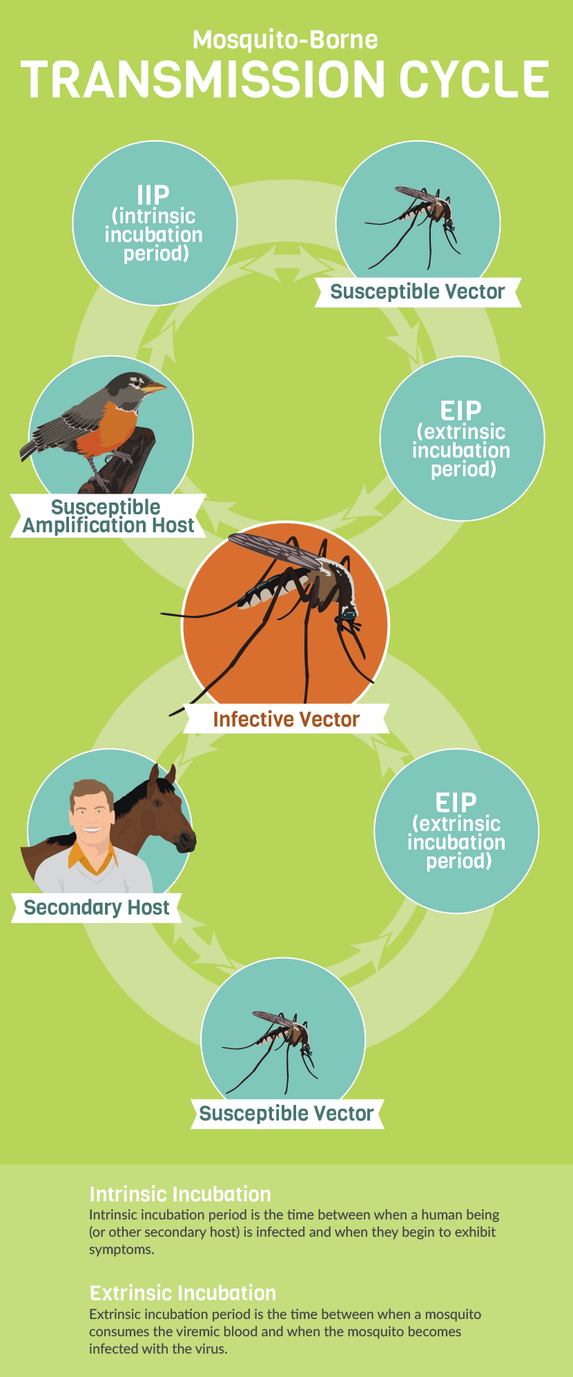 Mosquitoes and Illness: How Mosquitoes Become Infected and Spread Disease