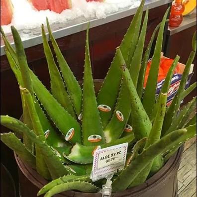 Gourmanoff Produce Aloe Bulk Barrel 3