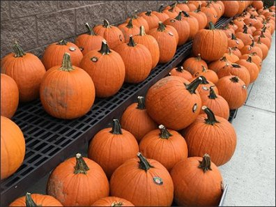 halloween-pumpkin-windrows-1