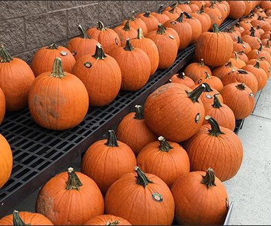 halloween-pumpkin-windrows-1