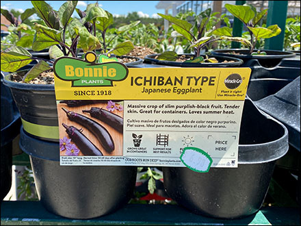 Bonnie Ichiban Eggplant Merchandising at Lowes