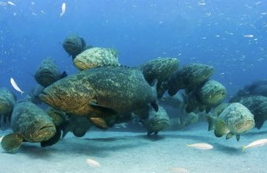 Goliath Grouper Gobbles Up a 4-Foot Shark in 1 Bite