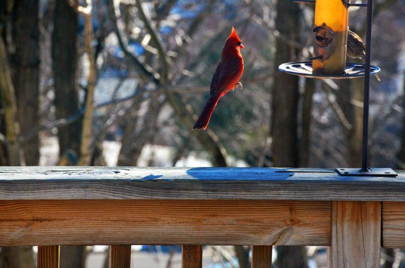 levitating-cardinal-floating-bird-perfect-timing