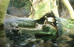 Turtle Riding aCrocodile