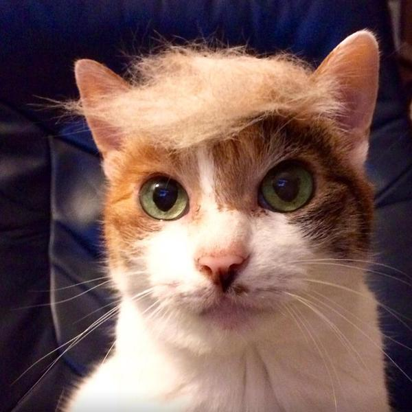 And each cat here is more electable than the real Trump.
