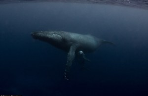 Underwater Whale Photography