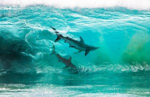 two-sharks-in-a-wave-by-sean-scott