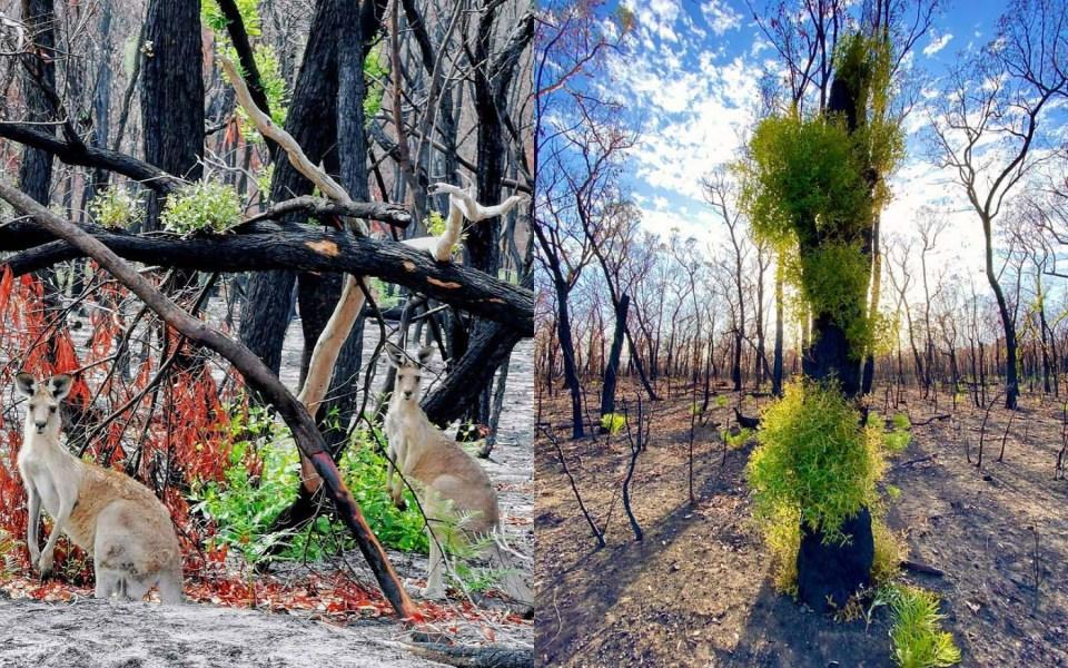 austrlian-forest-life-after-bushfire