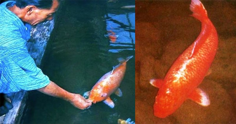 226 Years Old Koi Fish