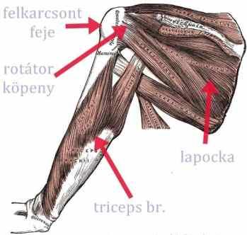 vállízület anatómis blokép