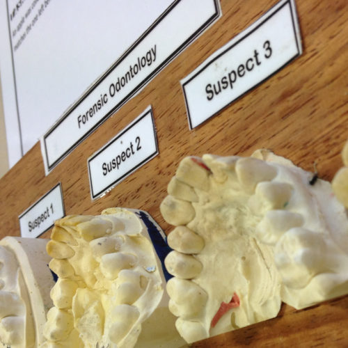 Teeth models used for forensics