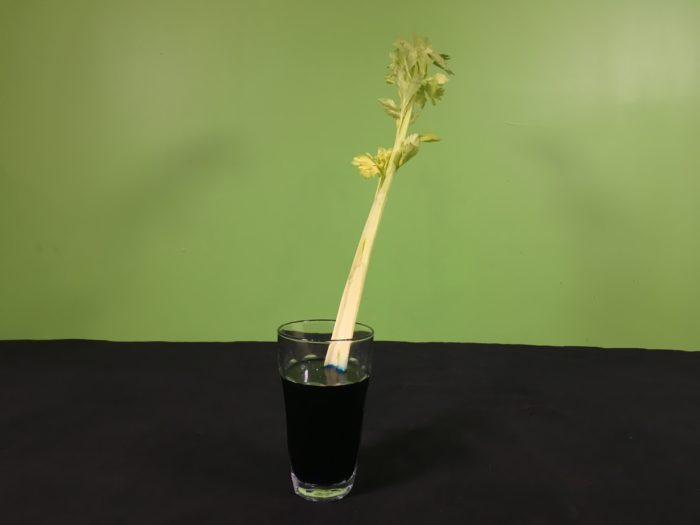 Celery Transpiration Science Experiment - sitting celery in blue water
