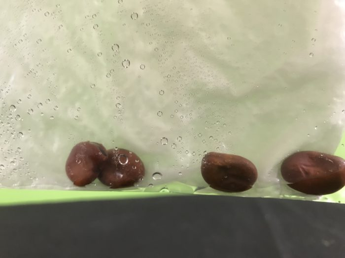 Make a beanhouse science experiment version 2- beans in bag with towel and water