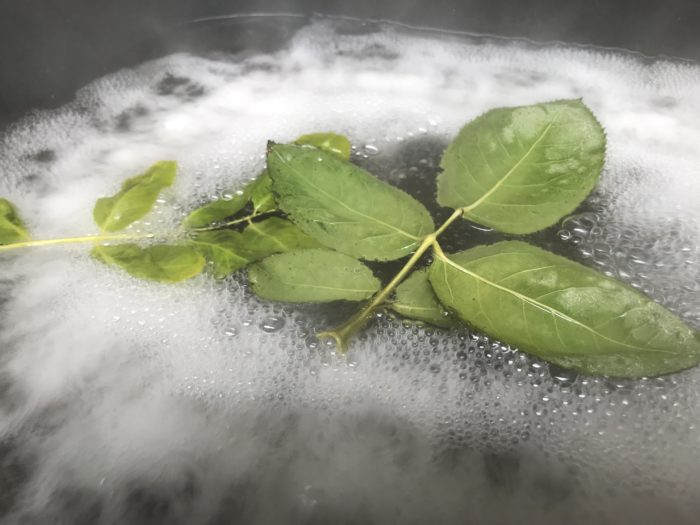 Make a leaf skeleton science experiment - leaves in boiling water