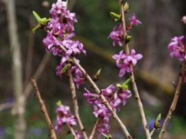 Tibasten blommar på bar kvist tidigt på våren.