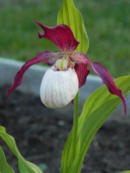 Matlust_orkide