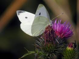Cabbage butterfly 1