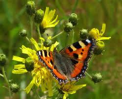 Nettle butterfly 4