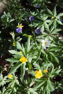 Blåsippor, vitsippor och gulsippor blommar rikligt i Parnassen