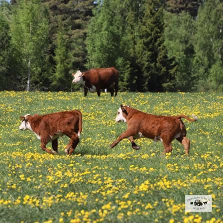 Glada kor på Österby gård