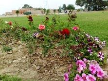 Nayab City Multan Central Park spring flowers (3)