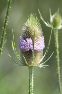 Kardeborre (Dipsacus sylvestris)
